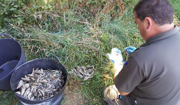 Aparecen más de 2000 peces muertos en el río Ulla
