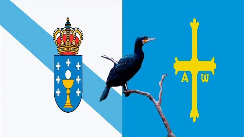 Galicia y Asturias se unen para luchar contra los cormoranes.